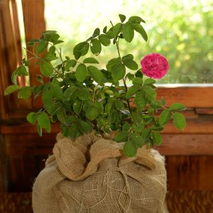 Sadnice ruže Jukan